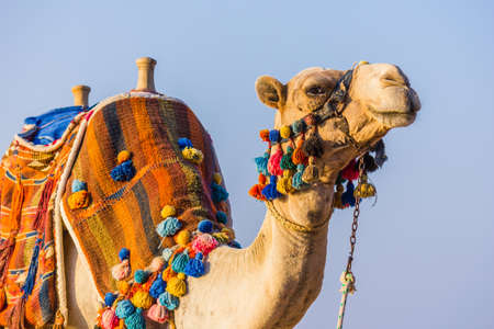 arabic desert: The muzzle of the African camel close-up Stock Photo