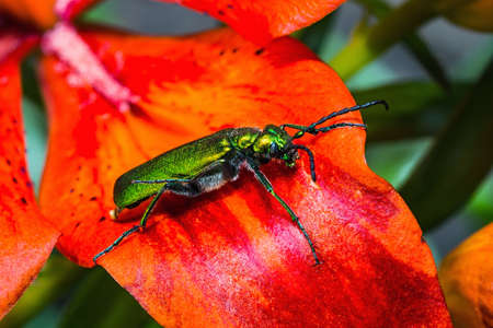 cantharis: cantharis lytta vesicatoria, green beetle on a flower Stock Photo
