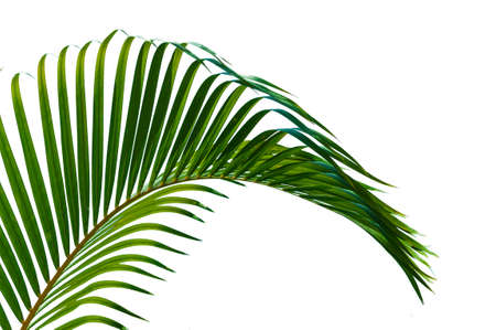 Palm leaves close up  isolated on white background Standard-Bild