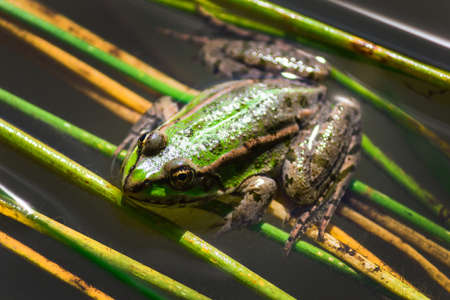 warts: Green frog with warts in the swamp close-up Stock Photo