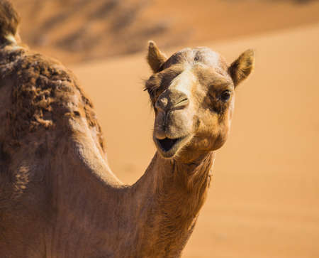 camello: Paisaje del desierto con el camello. Arena, camel y el cielo azul con nubes. Antecedentes de viajes de aventura.