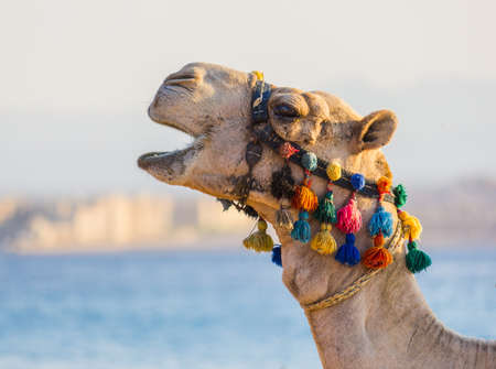 The muzzle of the African camel close-up 스톡 콘텐츠