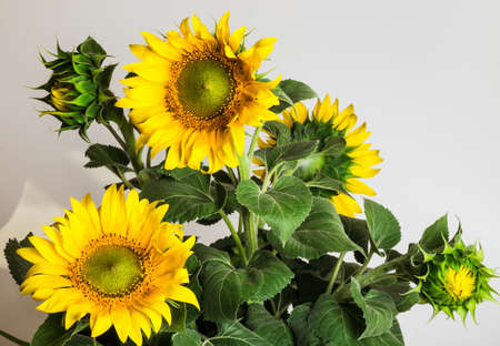 hot summer: sunflower on a rural field in the hot summer