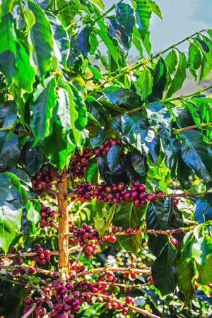unpicked: Coffee beans ripening on tree in Vietnam