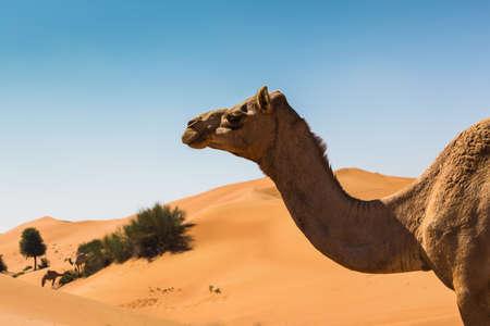 desierto: Paisaje del desierto con el camello. Arena, camel y el cielo azul con nubes. Antecedentes de viajes de aventura.