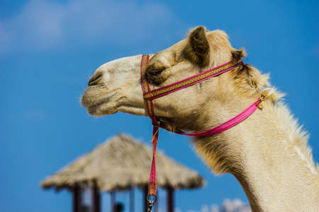 muzzle: The muzzle of the African camel close-up Stock Photo