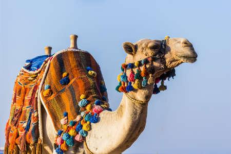 camello: El hocico del camello africano close-up Foto de archivo