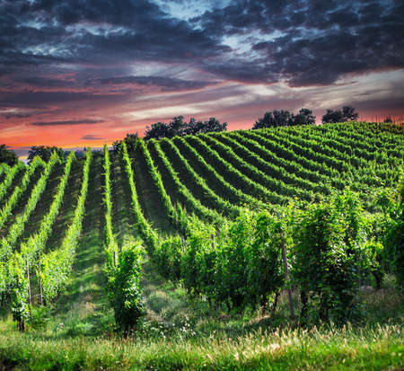 grape field: Fields of grapes in the summer, Tuscany. Italy