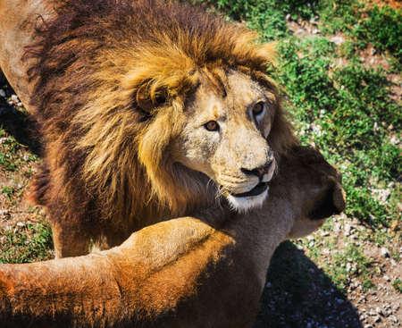 Lion Pride in nature safari park Taigan Belogorsk Crimea