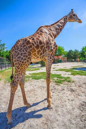 animal head giraffe: giraffe in the wild at sunny day