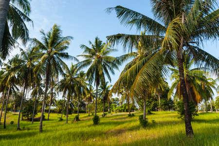coco: bosque de árboles de coco en un día soleado en Tailandia Foto de archivo
