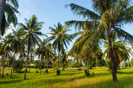 coconut leaf: grove of coconut trees on a sunny day in Thailand
