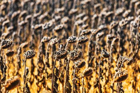 campo de flores: girasoles marchitos de la vendimia en el campo del oto�o
