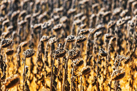 field flower: Vintage withered sunflowers in the autumn field