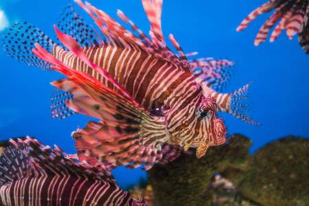 aquarium hobby: Fish in an aquarium in the National Oceanographic Museum of Vietnam.  Nha Trang