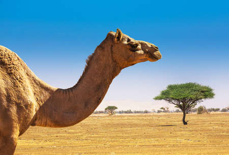 ethnics: Desert landscape with camel. Sand, camel and blue sky with clouds. Travel adventure background.