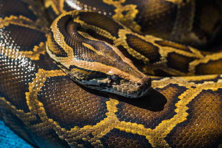 peril: Royal Python, or Ball Python (Python regius) Stock Photo
