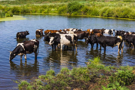 wade: Cows wade cross the river in the countryside