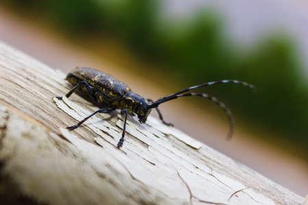 capricornio: Escarabajo del Capricornio (de cuernos largos, longicorn) rufomaculata Batocera en (Parque Nacional de Phu Soi Dao) Asia del sudeste asiático Tailandia