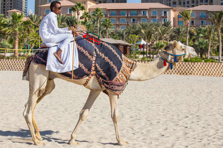 DUBAI, UAE - NOVEMBER 11: High rise buildings and streets nov 11. 2013  in Dubai, UAE. Dubai was the fastest developing city in the world between 2002 and 2008. Camel on Jumeirah Beach in Dubai, UAE
