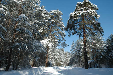 the trees covered with snow: Winter pine forest with trees covered snow