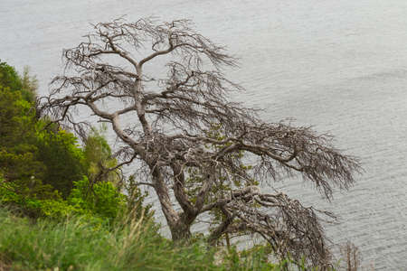 expanse: Dried branched pine on the cliff over the boundless expanse of water