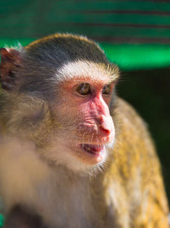 Young Brown Monkey in Dalat in Vietnam