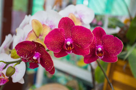 Orchid Flowers for sale at flower market. Indoor.