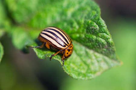 Colorado potato beetle (Leptinotarsa decemlineata) is a serious pest of potatoes Banque d'images - 101338338