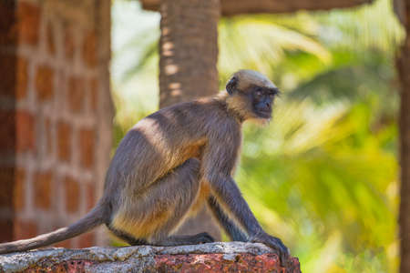 Wild monkeys in the jungles of India Stock Photo