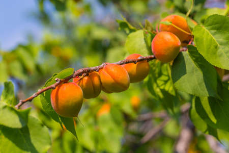 The long ripe apricot has hung all over the branch, is also an abundant harvest season Stockfoto