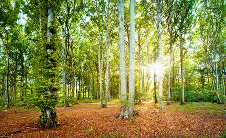 broadleaved tree: beech forest in late summer on the island of ruegen, germany Stock Photo