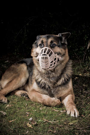 German Shepherd dog wearing a muzzle photo