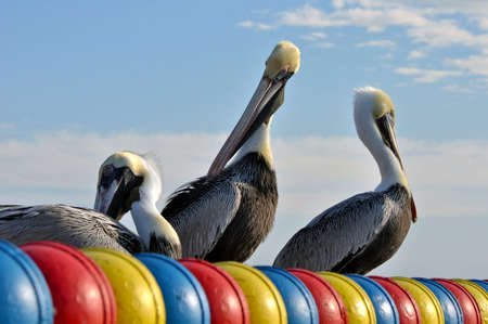 Pelicans enjoying a sunny day at St  Mary s Island, Tampa   photo