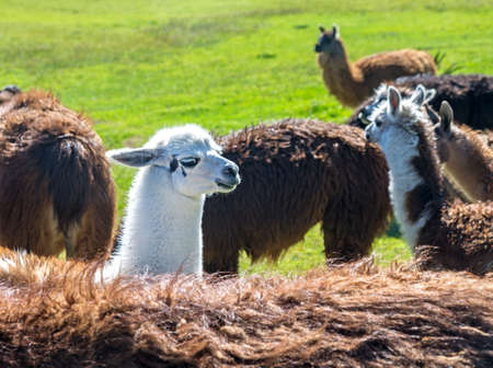 A baby white llama in the middle of a group of brown llamas photo
