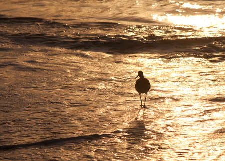 Seagull bird in silhouette walking on the beach searching for food. Florida, USA. Stock Photo