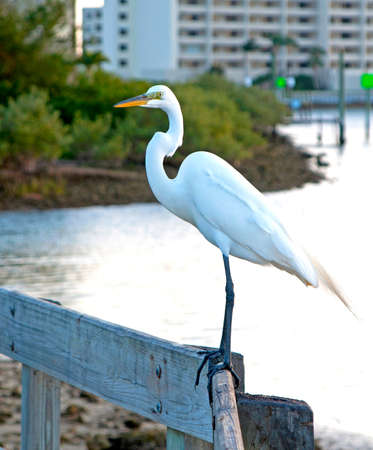 Big White Heron on a handrail looking forward on to the distance. Hudson Beach, Florida, USA.