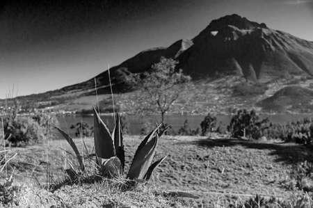An Ecuadorian small cactus growing near the San Pablo lake and Imbabura volcano, on a sunny morning.