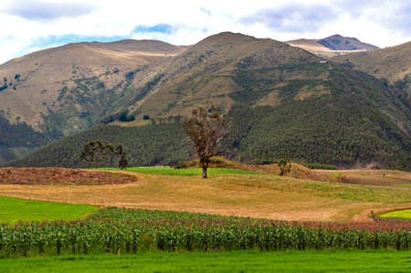 Beautiful tree in a green field, with crops, and mountains in the background. Imbabura province, Ecuador Фото со стока