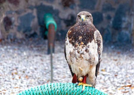 Beautiful eagle standing and posing at a bird conservation park, near Otavalo, Ecuador, South America