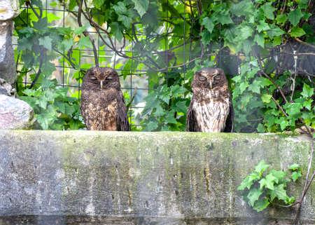 Two little owls sitting on a large stone, at a bird salvation park, Otavalo, Ecuador, South America. Stok Fotoğraf