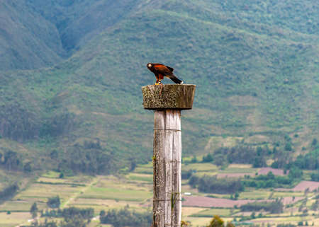 A brown golden eagle at the top of a wooden column, with the Ecuadorian Andes in the background. Otavalo, Ecuador.