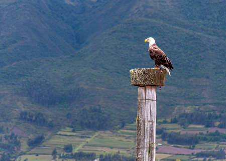 Bald eagle at a bird conservation park, near Otavalo, Ecuador, South America