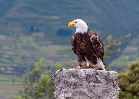 Bald eagle at a bird conservation park, near Otavalo, Ecuador, South America