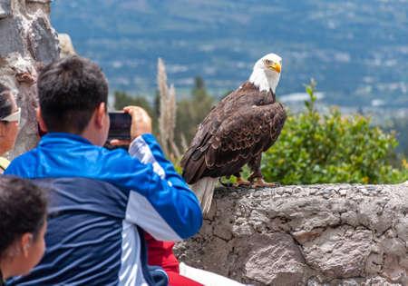 Tourists and visitors taking photos of a beautiful bald eagle, at a conservation park, near Otavalo, Ecuador.