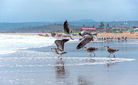 Seagulls at the beach taking flight and others flying, with the ocean and fishing town in the background. San Pedro, Manabi, Ecuador Фото со стока