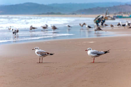 Two seagulls standing on the sand at the beach facing the ocean, San Pedro, Manabi, Ecuador