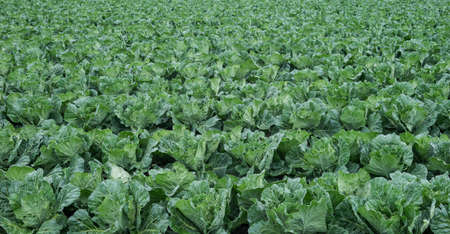 Taiwanese or Chinese cabbage