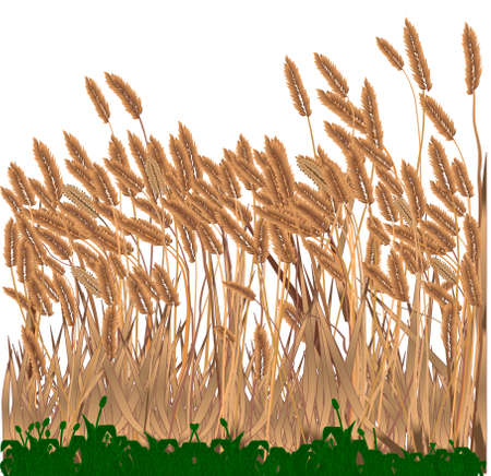 Grasses growing in a meadow isolated over white  Illustration