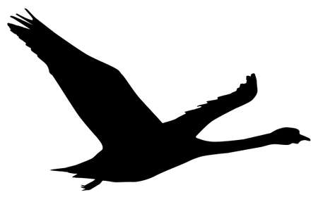 black swan: a silhouette of a swan flying isolated over white
